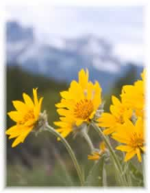 g. Arnica Montana (Asteraceae)