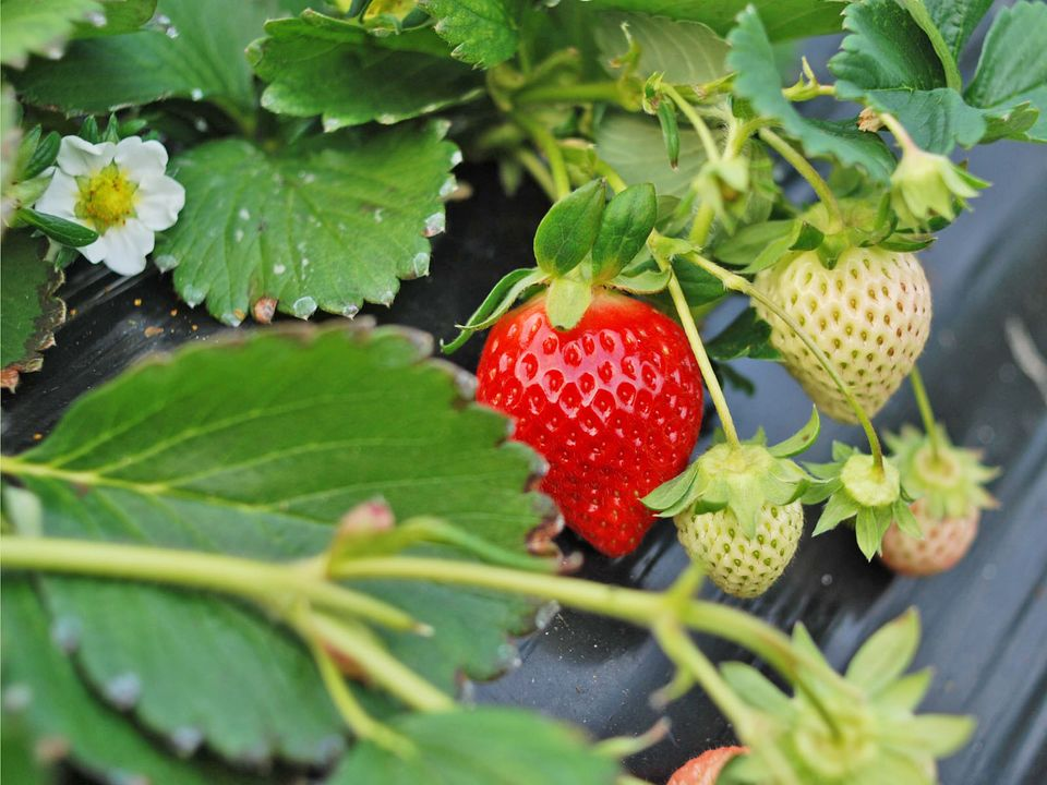 growing-strawberry-organic-lifestyle-blog