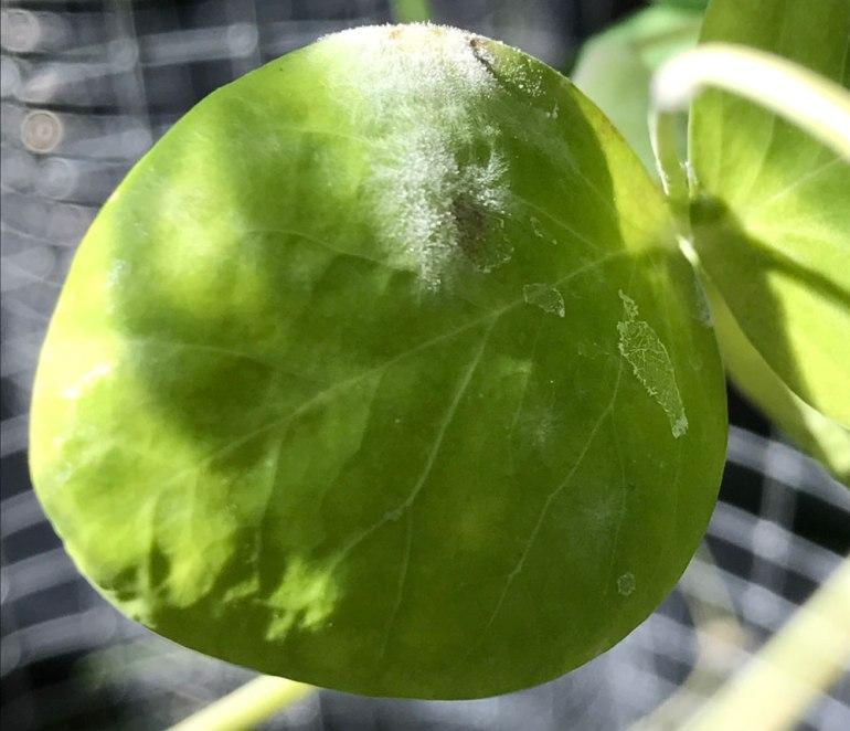 powdery-mildew-beat-organic-lifestyle